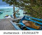 Galapagos Sea Lion Resting O...