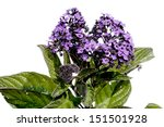 Small photo of Peruvian Heliotrope flower isolated on white