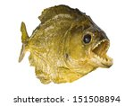red belly piranha with mouth... | Shutterstock . vector #151508894