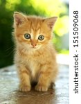 Cute Red Kitten With Blue Eyes...