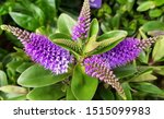 Hebe Plant With Flowers In The...