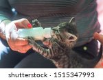 Stock photo little gray kitten drinks milk from a bottle feeding kittens without a nursing cat kittens on 1515347993