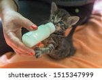 Stock photo little gray kitten drinks milk from a bottle feeding kittens without a nursing cat kittens on 1515347999