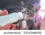 Stock photo little gray kitten drinks milk from a bottle feeding kittens without a nursing cat kittens on 1515348020