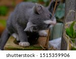 Small photo of Gray cats gnash the vine.