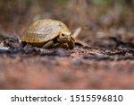 Stock photo baby elongated tortoise indotestudo elongata 1515596810