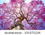 Pink Lapacho Tree At Sun S Bac...