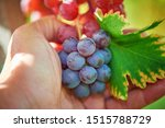 a farmer holds bunch of red... | Shutterstock . vector #1515788729