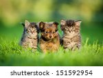 Stock photo toy terrier puppy between kittens 151592954