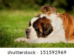 Big Saint Bernard Dog With...