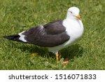 Stock photo european herring gull chick silberm we larus argentatus 1516071833