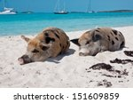 Stock photo wild pigs on big majors island in the bahamas lounging and walking around in the sand and ocean 151609859