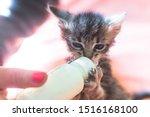 Stock photo little gray kitten drinks milk from a bottle feeding kittens without a nursing cat kittens on 1516168100