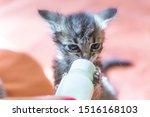 Stock photo little gray kitten drinks milk from a bottle feeding kittens without a nursing cat kittens on 1516168103