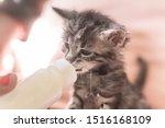 Stock photo little gray kitten drinks milk from a bottle feeding kittens without a nursing cat kittens on 1516168109