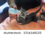 Stock photo little gray kitten drinks milk from a bottle feeding kittens without a nursing cat kittens on 1516168133