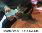 Stock photo little gray kitten drinks milk from a bottle feeding kittens without a nursing cat kittens on 1516168136