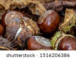 Conkers From The Horse Chestnu...
