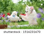 Stock photo white adult dog of the samoyed breed in a hat with flowers holds the paw of a stroller with a white 1516231670