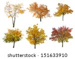 Set Of Six Golden Fall Trees...