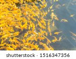 Crowded Golden Koi Carps In A...