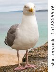 Stock photo european herring gull chick in german silberm we larus argentatus 1516359959