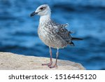 Stock photo young chick european herring gull chick in german silberm we larus argentatus 1516445120
