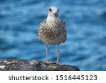 Stock photo young chick european herring gull chick in german silberm we larus argentatus 1516445123