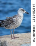 Stock photo young chick european herring gull chick in german silberm we larus argentatus 1516452569