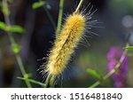Caterpillar Of Virginian Tige...
