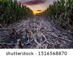 Small photo of trodden path in the cornfield, dusk and sunset