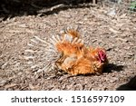 The Rooster Is Laying Down Wit...