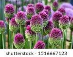 Allium Sphaerocephalon \'round...