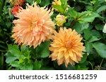 Orange Decorative Dahlia ...