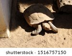 Stock photo close up of african spurred tortoise centrochelys sulcata also called the sulcata tortoise 1516757150