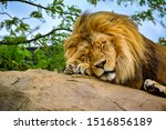 Lion On A Rock. Lion Sleeping....