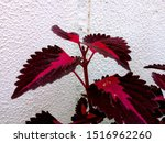 Small photo of Coleus blumei (aka Solenostemon scutellarioides) Coleus plant, also known as Painted Nettle, Distinctive leaf shapes, intricate patterns, and rich colors rival some of the showiest foliage plants.
