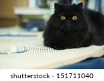 Stock photo black male cat looking attentively at photo camera 151711040