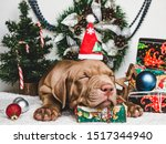 Stock photo pretty tender puppy of chocolate color christmas decorations carpet and box tied with a bow 1517344940