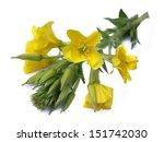 Evening Primrose  Oenothera...