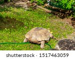 Stock photo african spurred tortoise centrochelys sulcata also called the sulcata tortoise 1517463059