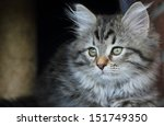 Stock photo puppy of siberian kitten 151749350