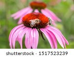 Bee On A Violet Flower In The...