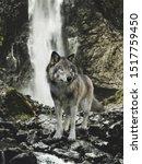 Native Wild Grey Wolf Stands O...