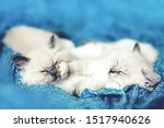 Stock photo two ragdoll cats small kittens sleeping together on blue blanket in funny pose siblings from the 1517940626