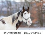beautiful horse mare with blue eye in winter lamdscape