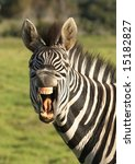 zebra with open mouth showing... | Shutterstock . vector #15182827