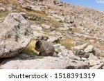 Marmot In Alpine Boulder Field...