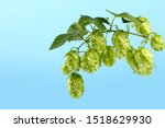 Small photo of Close up one fresh green hop bine branch with leaves over blue sky background, low angle side view