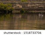 Single Cormorant Swimming In...
